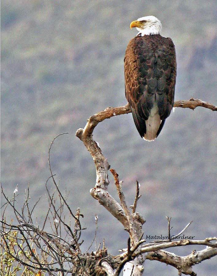 Phoenix Eagle by Matalyn Gardner