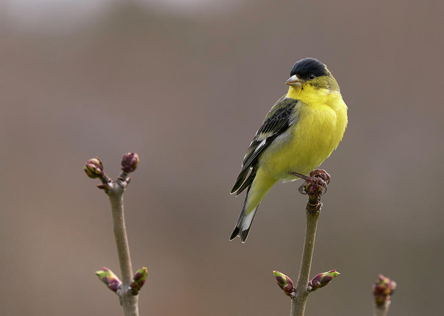 Bird Photograph - Lesser Goldfinch by Douglas Herr