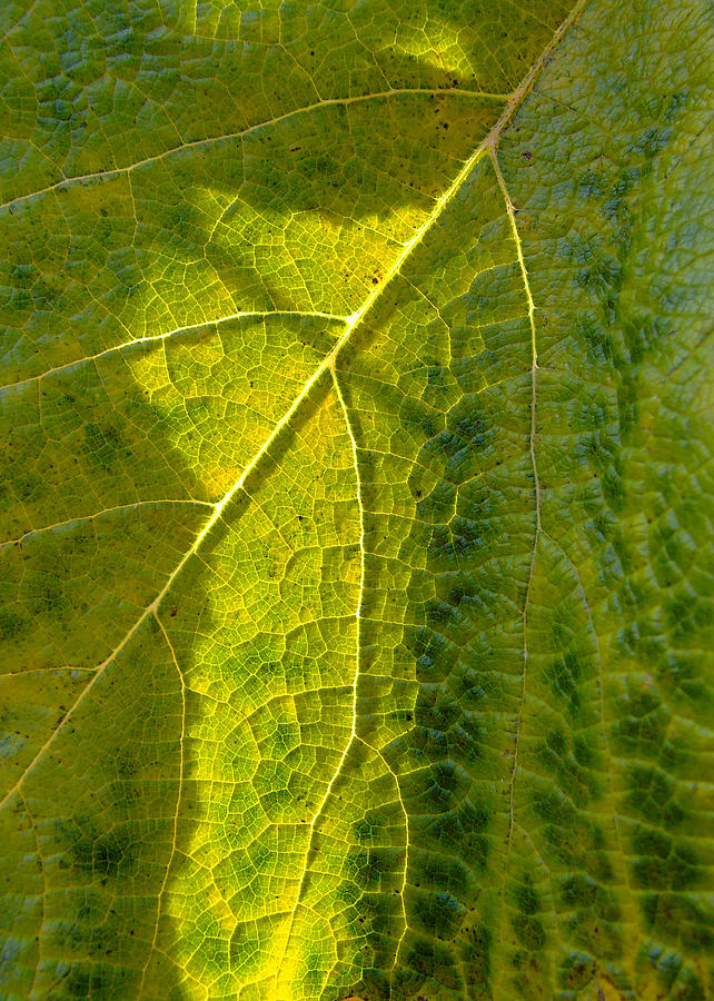 Grape Photograph - Photosynthesis In Progress by Everett Bowers
