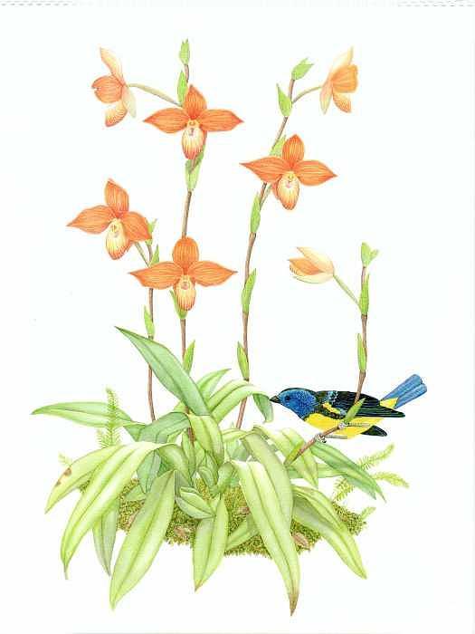 Orchids Painting - Phragmipedium Besseae by Darren James Sturrock