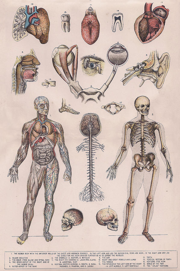 Physiology, Diagrams Of The Human Body Drawing by Victorian Engraver
