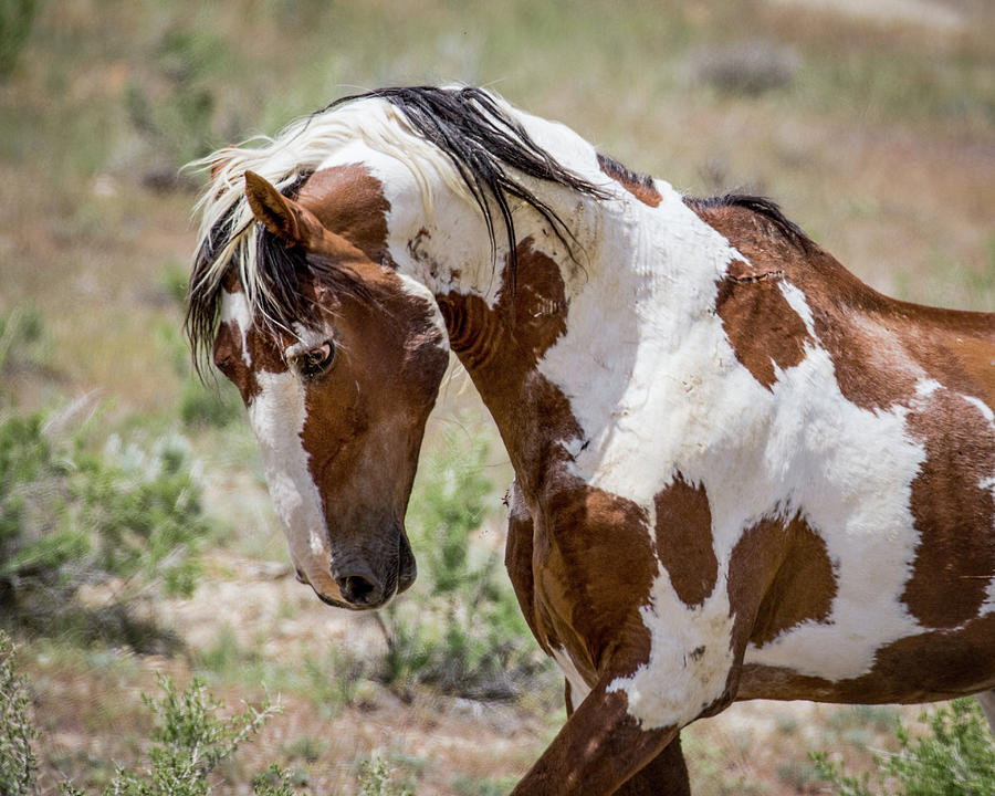 Picasso Mustang Stallion  by Dawn Key