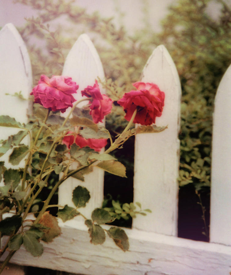 Rose Photograph - Picket Fence by JAMART Photography