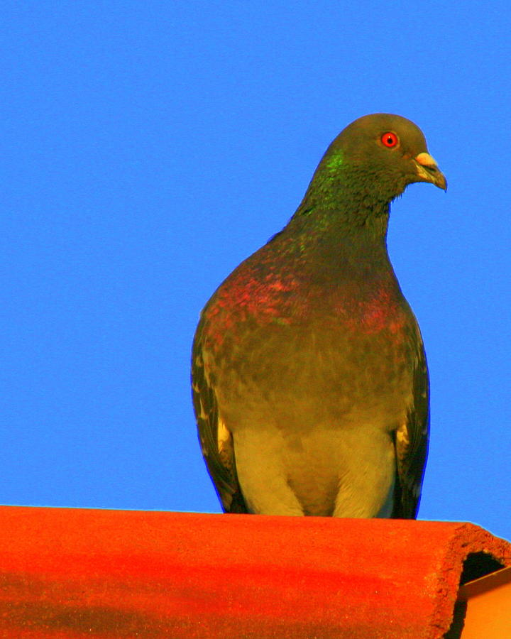 Bird Photograph - Pidgeon On The Roof by Kerry Reed