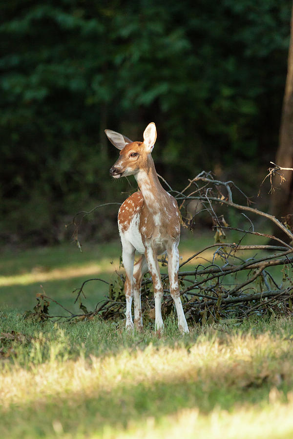 Animal Photograph - Piebald Whitetail Deer Fawn by Erin Cadigan