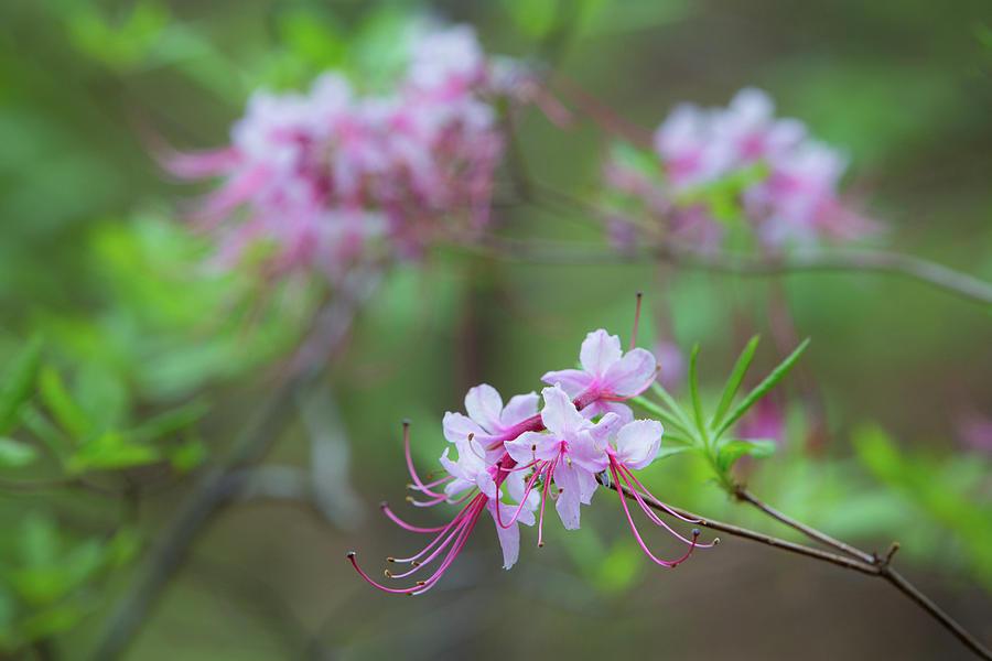 Azalea Photograph - Piedmont Azalea Bloom by Jim Neal