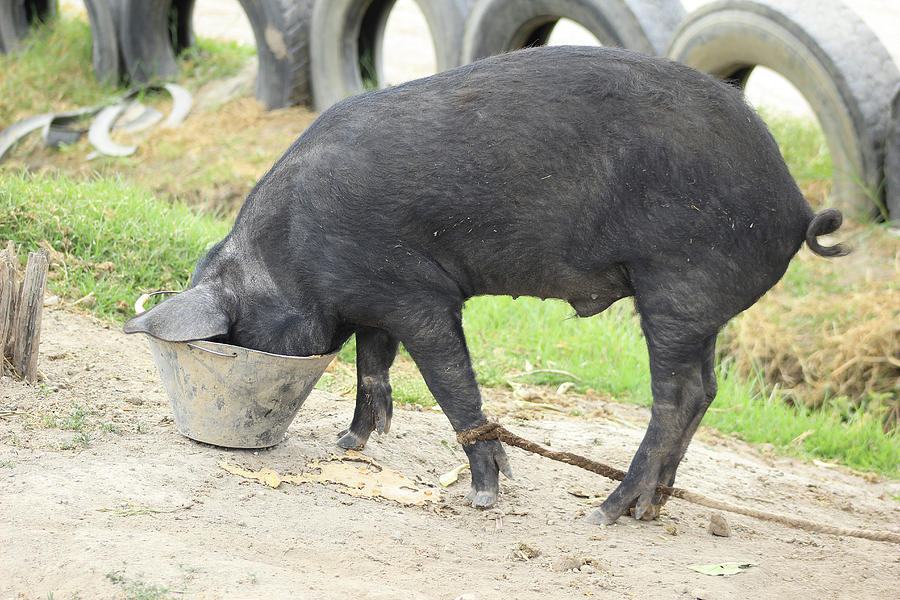 Pig Photograph - Pig Eating From A Bucket by Robert Hamm
