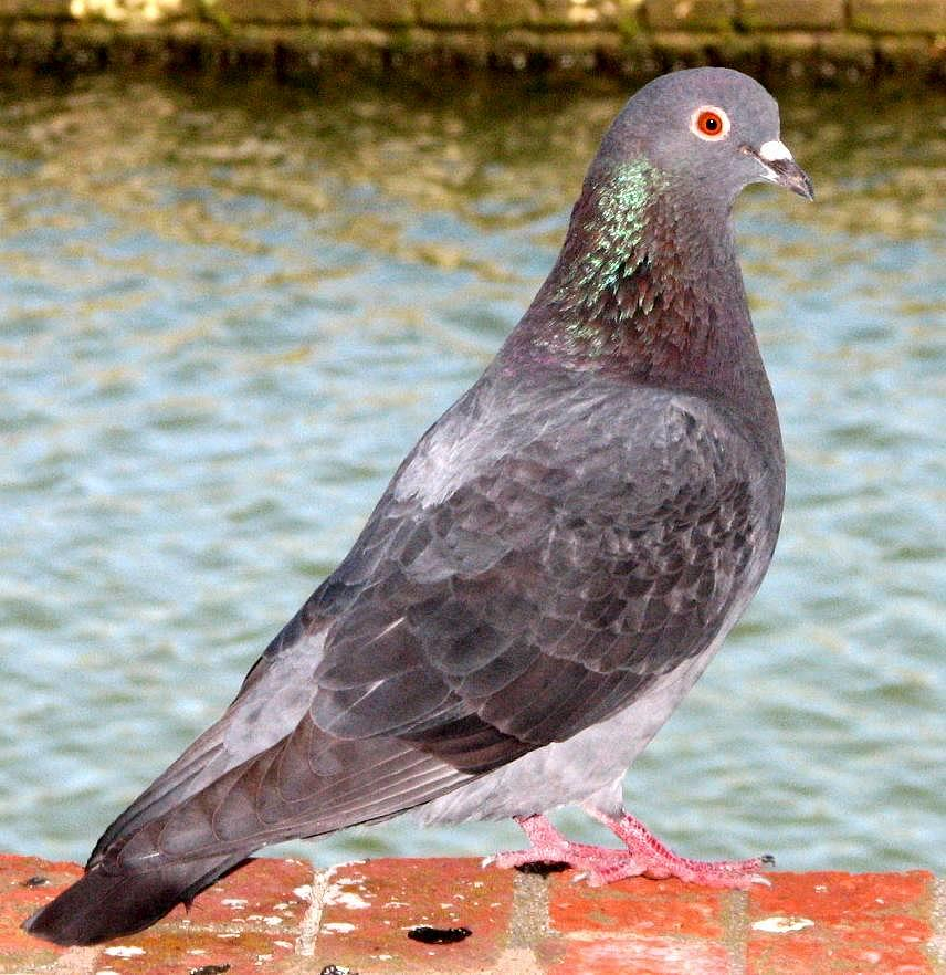 Pigeon Photograph - Pigeon by J M Farris Photography