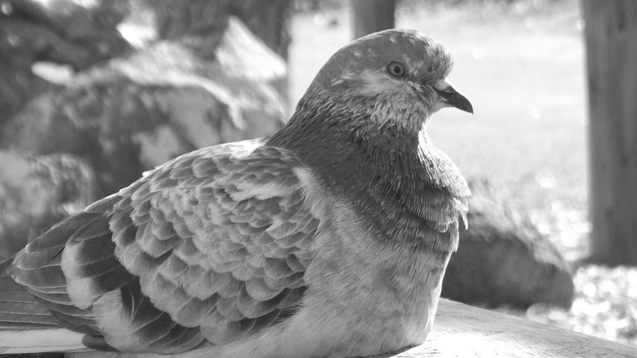 Dainty Pigeon Photograph