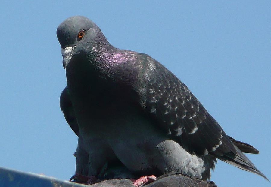 Pigeon Photograph - Pigeon On A Roof by Lori Seaman