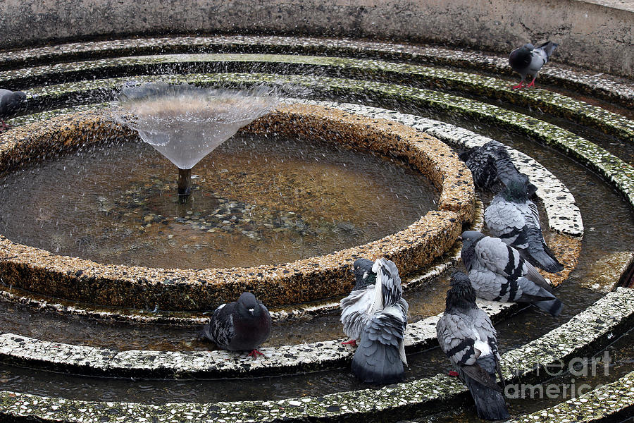 Pigeon Photograph - Pigeons Are In The Fountain Refreshes by Goce Risteski