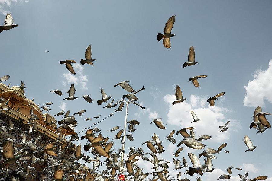 Pigeons flying in front Hawa Mahal palace. Jaipur, India Photograph ...