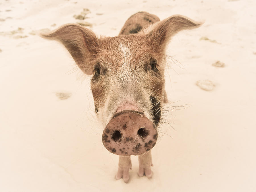 Piglet Photograph - Piglet by Craig Gum