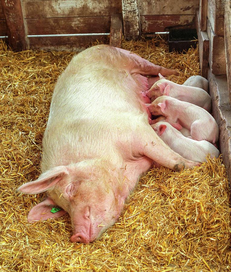 Piglet Feeding Time by Tom Potter