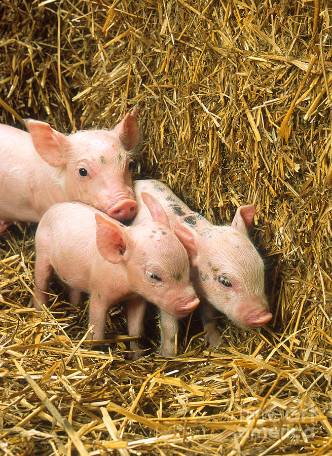 Animal Photograph - Piglets by Science Source