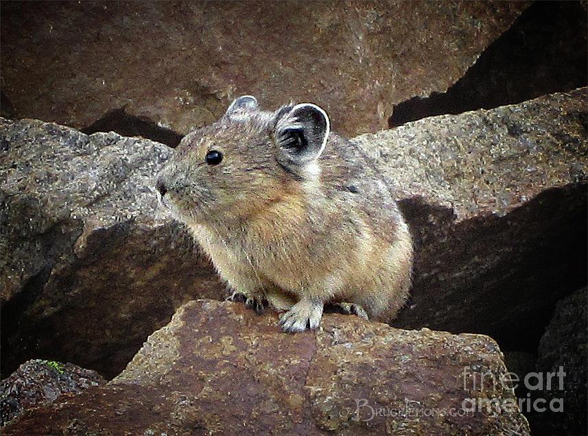 Colorado Photograph - Pika - Weminuche Wilderness - Colorado by Bruce Lemons