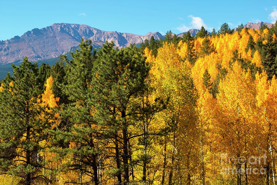 Pikes Peak And Autumn Aspen Photograph