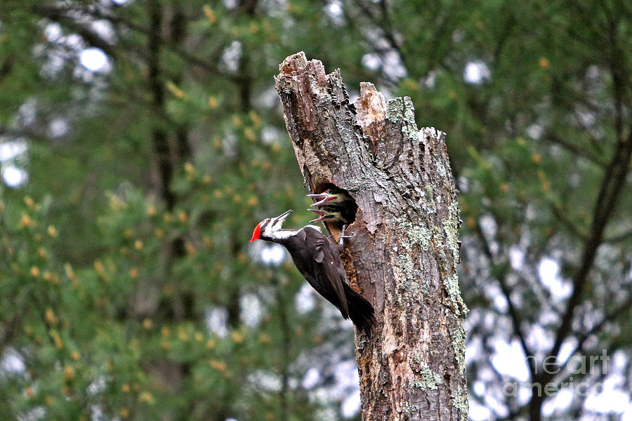 Woodpecker Photograph - Pileated #24 by James F Towne