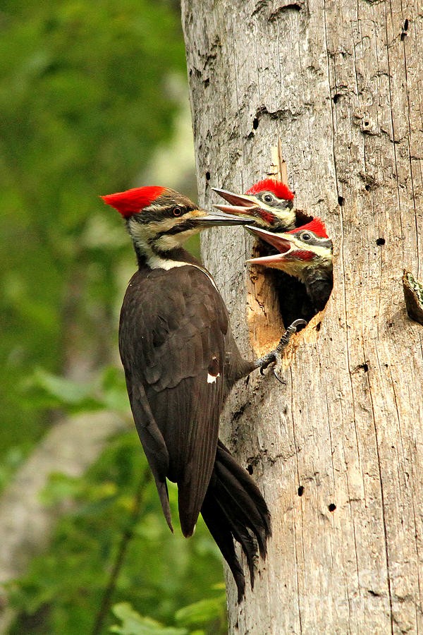Woodpecker Photograph - Pileated #30 by James F Towne