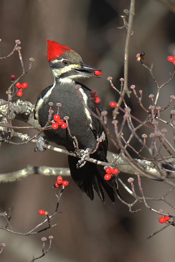 Bird Photograph - Pileated Woodpecker Lunch by Alan Lenk