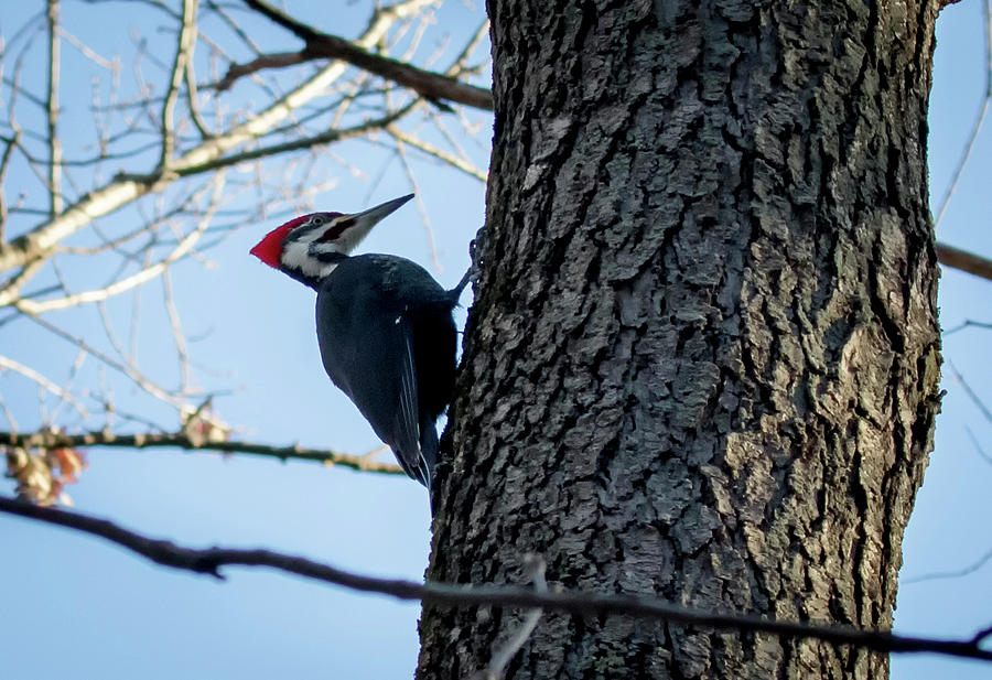 Canon Photograph - Pileated Woodpecker  by Ricky L Jones