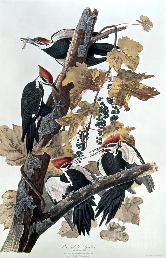 Pileated Woodpeckers By John James Audubon (1785-1851) Painting - Pileated Woodpeckers by John James Audubon
