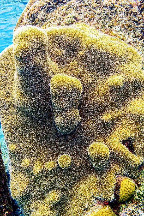 Pillar Coral by Perla Copernik
