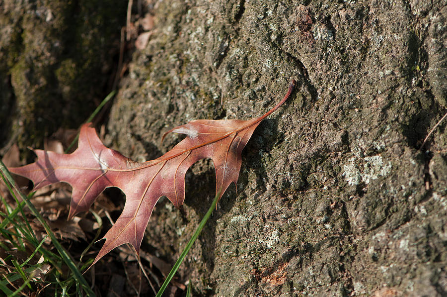 PIN OAK LEAF ON BARK by Brian Green