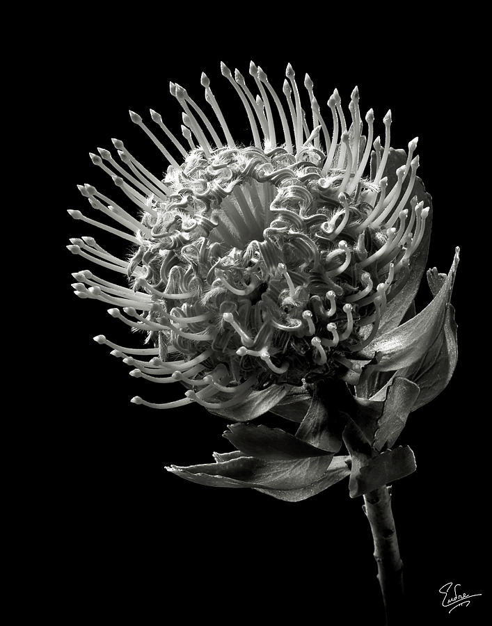 pincushion protea in black and white photograph by endre