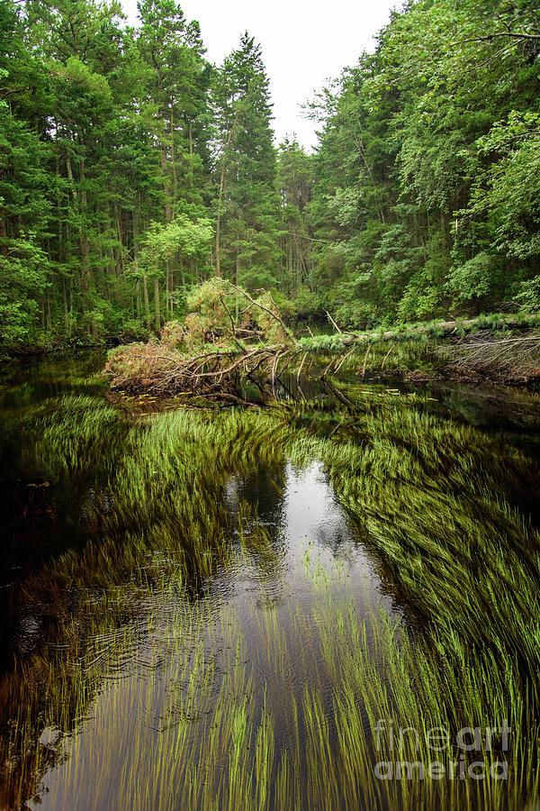 A creek in the Pine Barrens by Debra Fedchin