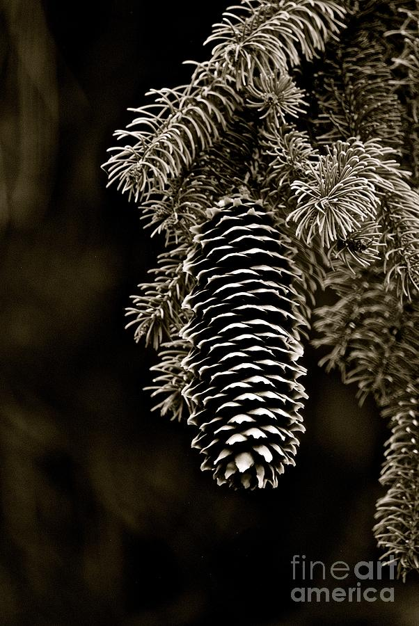Pine Cone Bw Photograph by Christine Scott