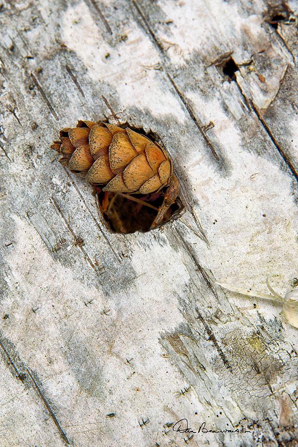 Pine Cone On Birch Bark 8021 Photograph