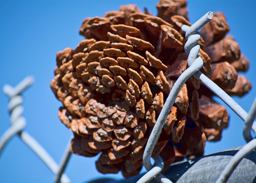 Pine Cone on the Fence by Cathy Jourdan