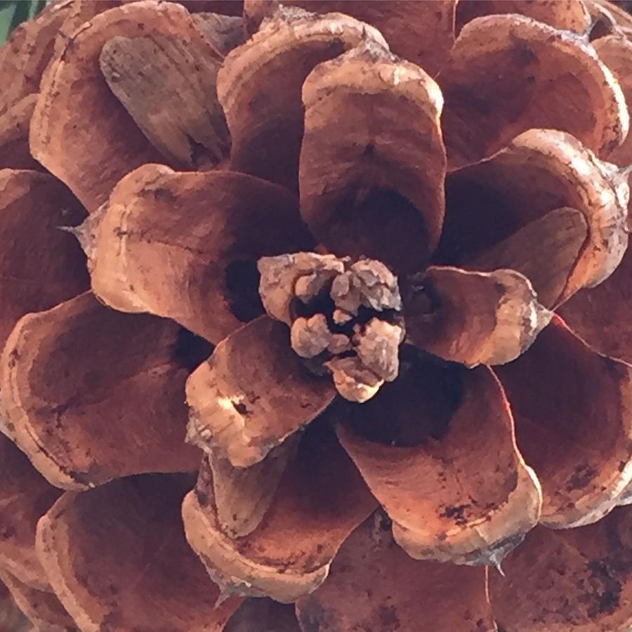 Nature Photograph - Pine Cone by Vonda Drees
