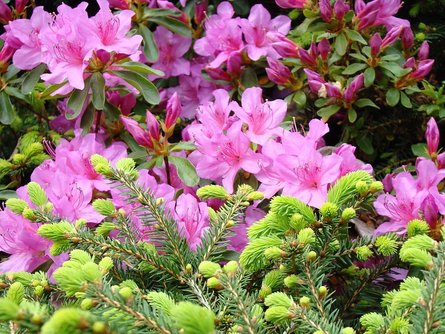 Azaleas Photograph - Pine Conifer Pink Azaleas 30 Summer Azalea Flowers Giclee Art Prints Baslee Troutman by Baslee Troutman