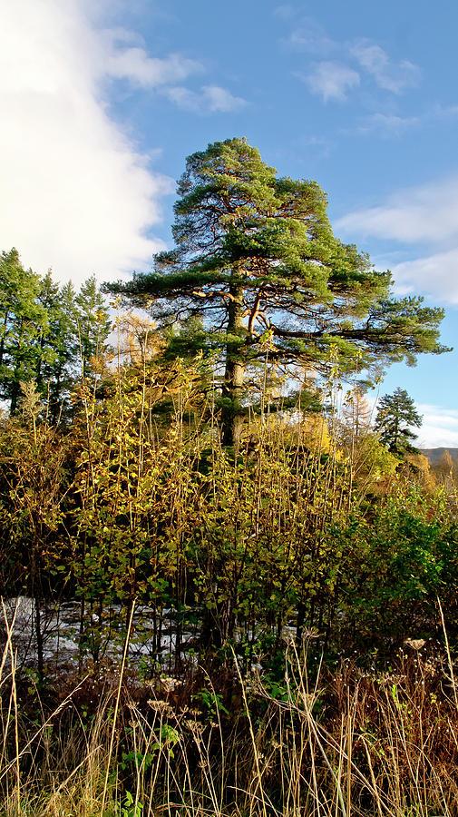 Pine. Photograph