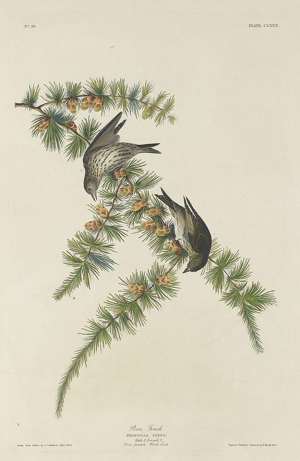 Audubon Drawing - Pine Finch by Dreyer Wildlife Print Collections