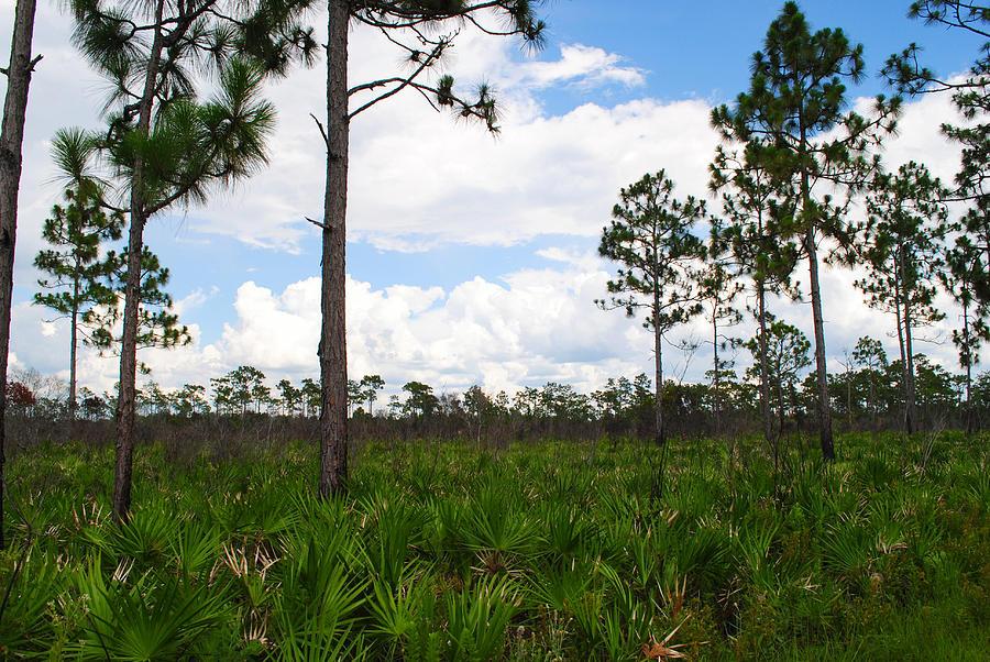 Scrub Pine Photograph - Pine Flatwoods by Steven Scott