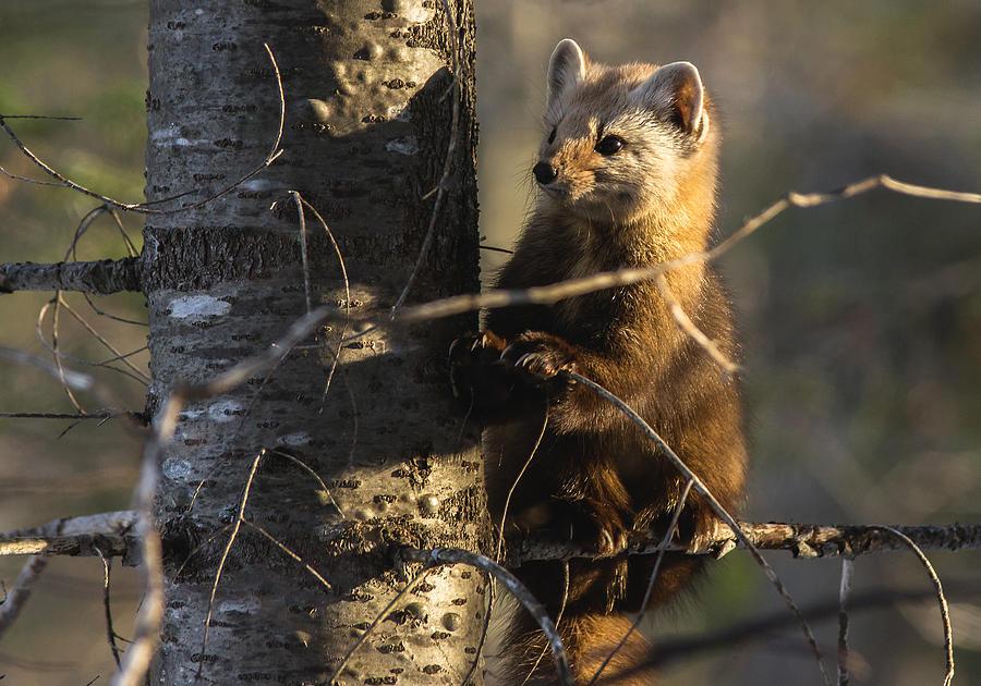 Pine Marten Photograph