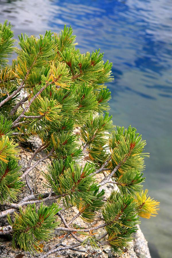 Pine Needles Photograph - Pine Needles Over Water by Chris Brannen