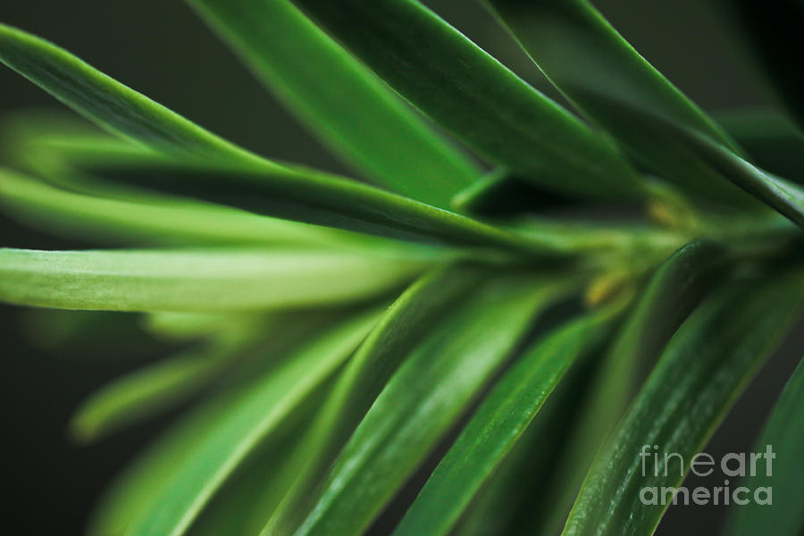 ryankellyphotography@gmail.com Photograph - Pine Needles by Ryan Kelly