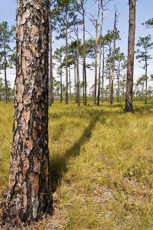 Tree Photograph - Pine Savanna II by Bob Decker
