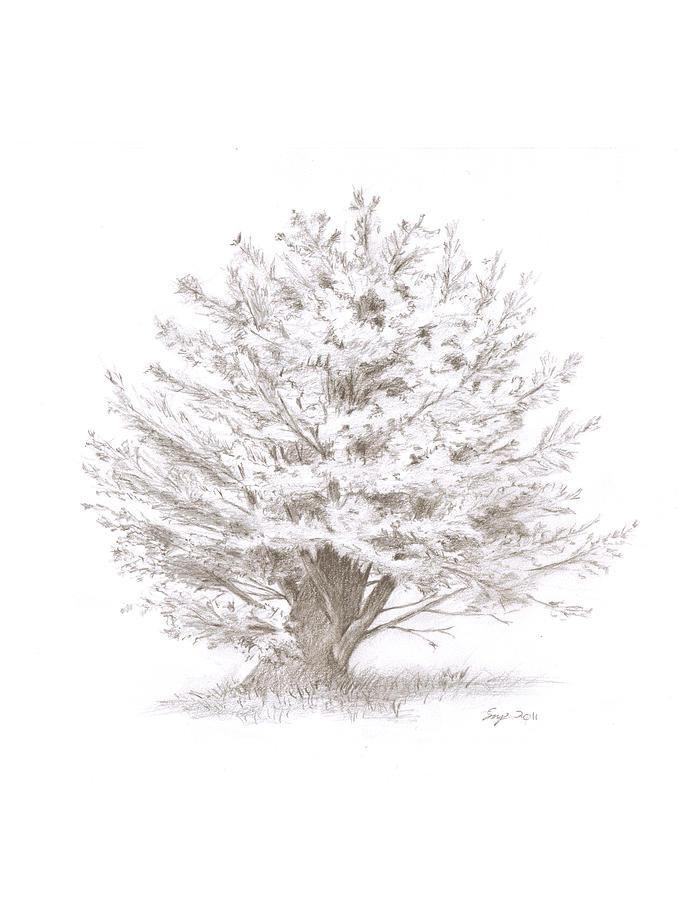 Sketch Drawing - Pine  by Steven Powers SMP