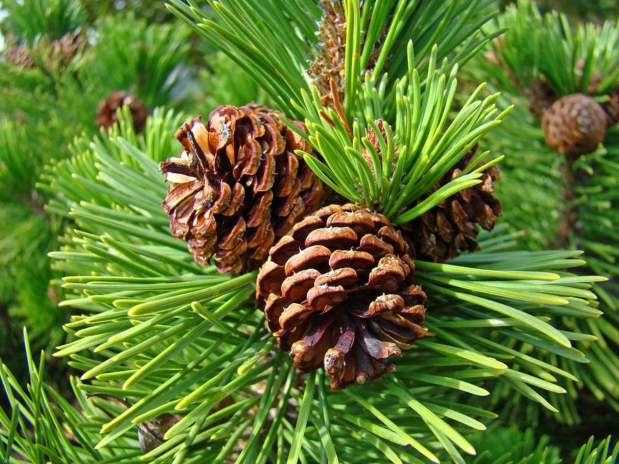 how to grow a tree from a pine cone