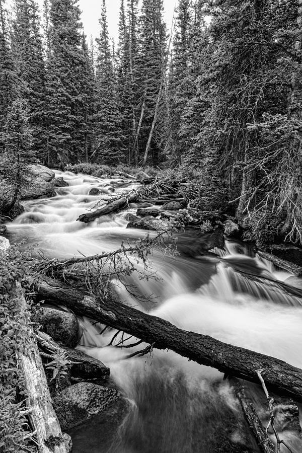 Pine Tree Forest Creek Portrait In Black And White Photograph