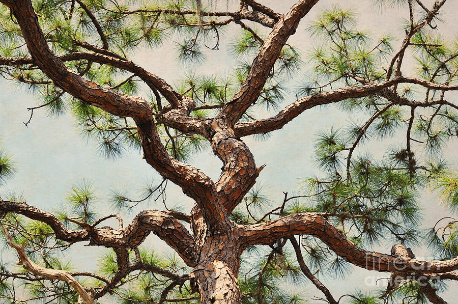 Tree Photograph - Pine Tree by Rose  Hill