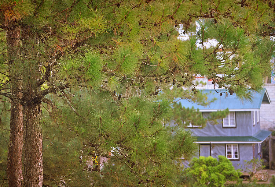 Tree Photograph - Pine Tree by Sher Hortillosa