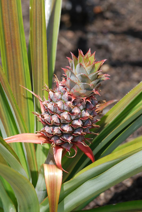 Acrylic Paint Photograph - Pineapple by Don  Wright