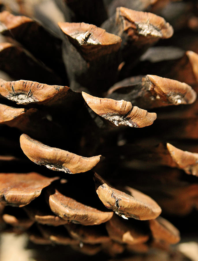 Pinecone Photograph - Pinecone by The Forests Edge Photography - Diane Sandoval