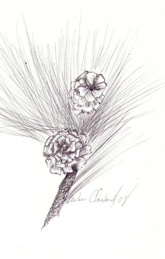 Pine Drawing - Pinecones by Barbara Cleveland
